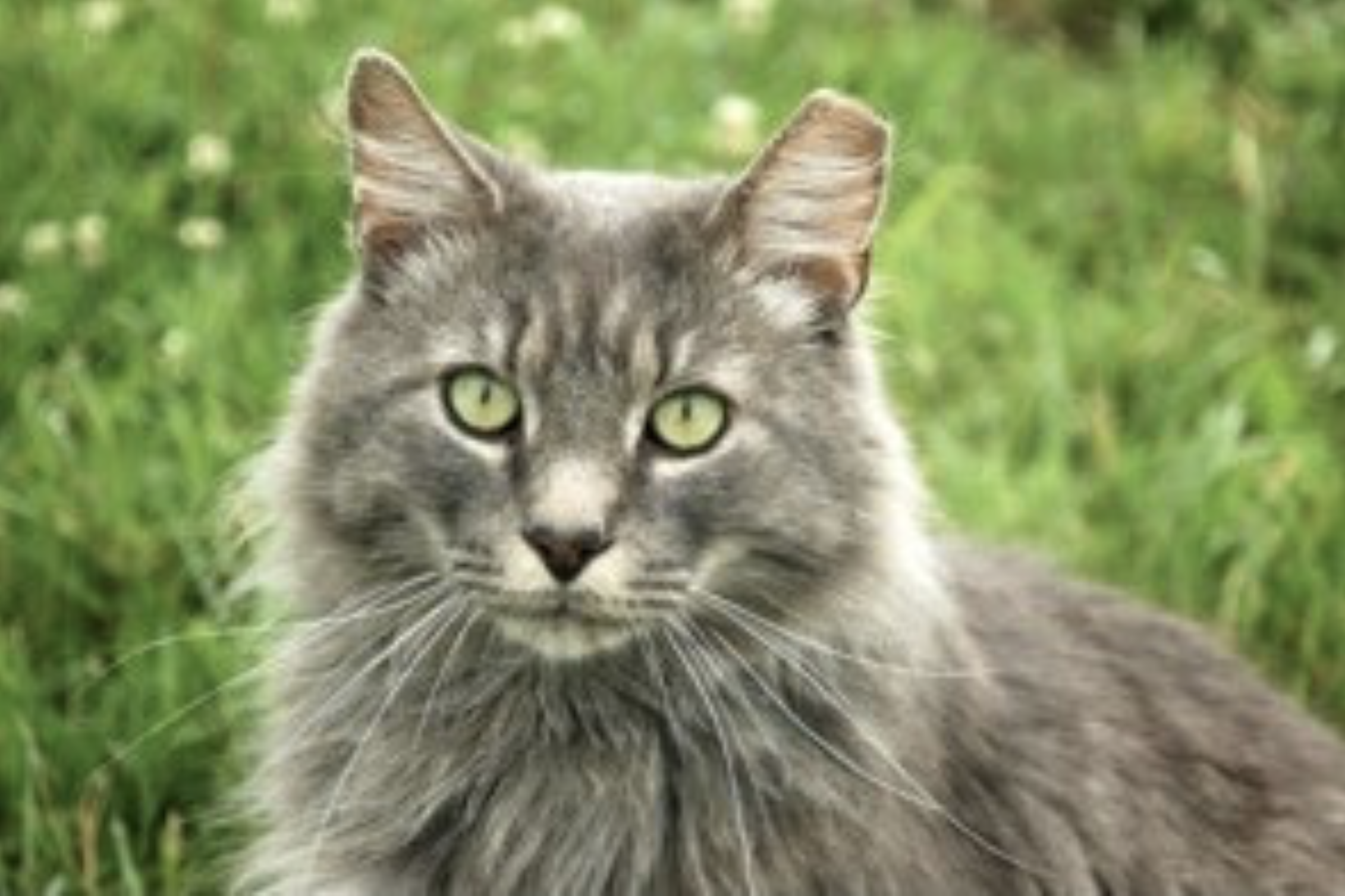 Cat With Ear Tipped